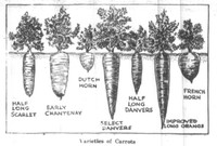 Illustration of several varieties of carrots